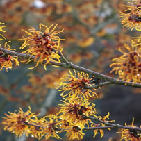 Hamamelis and the Circulatory System