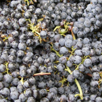 Red grapes (resveratrol) against cognitive impairment
