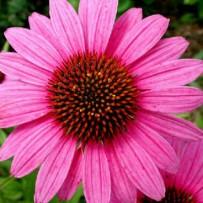 Echinacea and Longevity