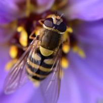 L'irritabilità di apis