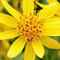 Arnica, also anti-tress remedy