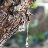 L'efficacia del Mastice di Chios (Pistacia lentiscus) verso la gastrite