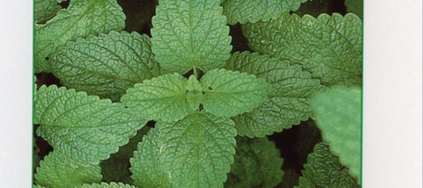 Lemon balm or Melissa and therapeutic activity on Graves' disease