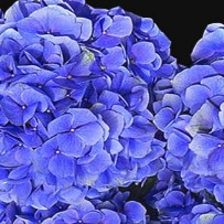 Hortensias to cure autoimmune diseases