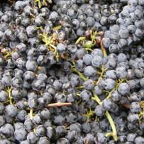 L'uva rossa (resveratrolo) contro il decadimento cognitivo